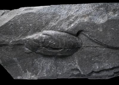 Mitiloides Labiatus, Digonera