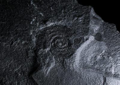 Stephanoceras subcoronatus, Digonera, Giura